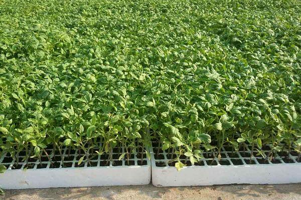 آغاز کشت گوجه فرنگی در مزارع استان بوشهر