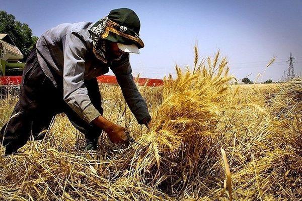 بیش از 12 هزار تن گندم از کشاورزان خراسان جنوبی خریداری شد