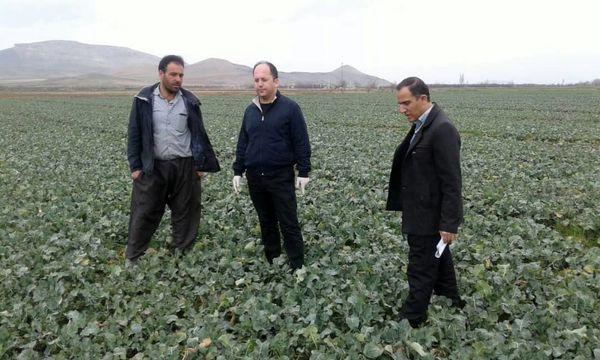 پایش مستمر مزارع زیر کشت دانه روغنی کلزا در آذربایجان غربی