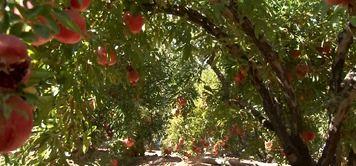 اجرای طرح یکپارچه کشت انار در شهرستان نجف آباد با 1700 سهام دار