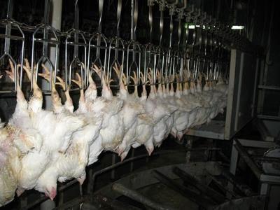 12 هزار تن گوشت سفید در جویبار تولید شد/ اشتغال مستقیم 3600 نفر