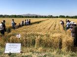 اجرای روز مزرعه «PVS» ارقام مشارکتی گندم در شهرستان بناب
