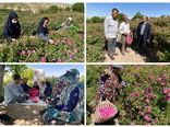 برداشت 2278 تن گل محمدی از باغات اسکو