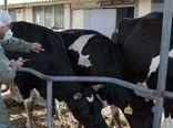 واکسیناسیون بیش از  4500 رأس گاو و گوساله علیه بیماری لمپی اسکین