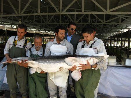 کاهش سن خاویاردهی ماهیان خاویاری/ صادرات گوشت خاویار پرورشی به روسیه