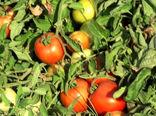 برداشت گوجه فرنگی دیررس در پارسیان
