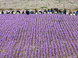 توسعه تکنولوژی در تولید زعفران