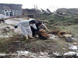 وارد شدن خسارت بیش از ۵۶۰ میلیارد ریالی به دام ها و آغل های روستایی در مناطق زلزلهزده قطور خوی