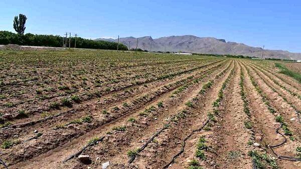 آغاز کاشت سیبزمینی به روش آبیاری تیپ در دهاقان