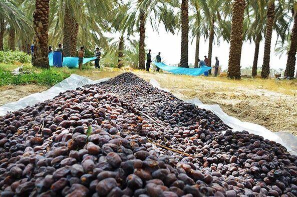 نشست هم اندیشی صادر کنندگان و اعضای دهکده خرما در شهرستان بم برگزار شد