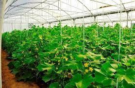 روند توسعه گلخانهها در خراسان شمالی رو به افزایش است