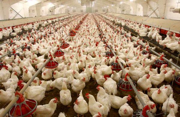 افزایش 18 درصدی جوجهریزی در مرغداریهای استان خوزستان