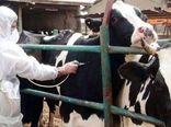 پایان فاز دوم واکسیناسیون تب برفکی دامهای سنگین در خوزستان