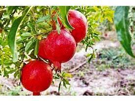 پیش بینی تولید 500 تنی انار در میاندورود