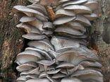 امضاء تفاهم نامه قارچ های خوراکی دارویی در خراسان رضوی