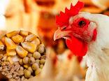 افزایش سرانه ذرت تخصیصی به مرغداریها تا ۳۶.۵ کیلوگرم
