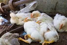 برگزاری کلاس آموزشی بیماری آنفلوآنزای فوق حاد پرندگان در شهربابک