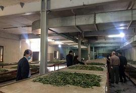 افزایش 6 برابری تولید نهال توت در سال جاری