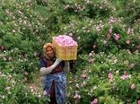 آغاز برداشت گل محمدی از سطح ۲۳ هکتار از گلستانهای شهرستان راور
