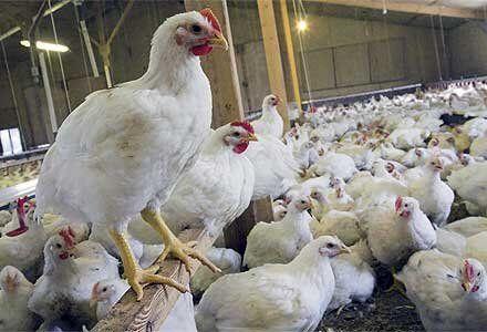 خرید حمایتی بیش از ۳۰۰ تن مرغ از مرغداران استان همدان