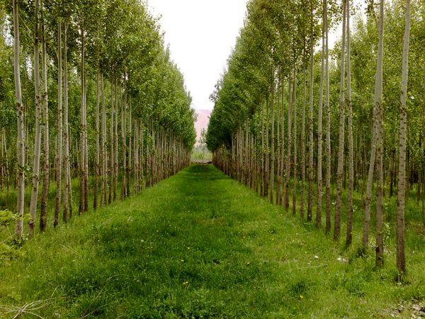 آماده سازی 5 میلیون نهال برای زراعت چوب در سال جاری