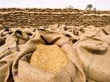 اشتیاق گندمکاران به فروش گندم به دولت با افزایش قیمت خرید