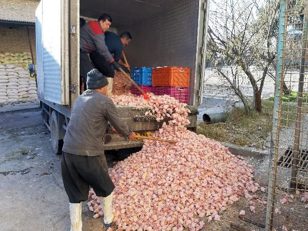 معدومسازی بیش از 3 تن کله و پای مرغ غیربهداشتی در شهرستان قدس