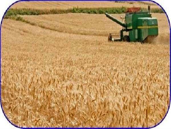 آغاز برداشت 11هزارتنی گندم در میاندورود