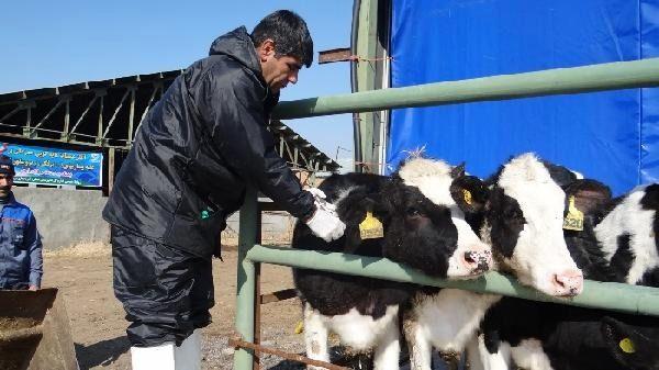 ایمنسازی بالغ بر 200 هزار راس دام سنگین علیه بیماری تببرفکی