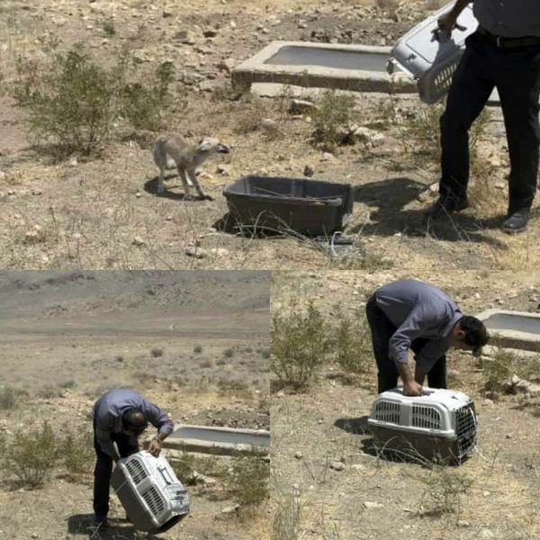 رهاسازی یک قلاده روباه در پارک ملی بمو در فارس
