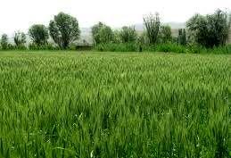 آغاز زمان طلایی کشت گندم در استان بوشهر