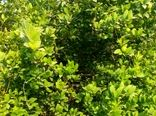 لیمو ترش های مُهر در بازار های فارس