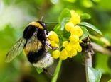 افزایش تولید محصول کشاورزی با زنبورهای بامبل بی