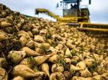 پرداخت تسهیلات 10میلیون تومانی برای کشت هر هکتار چغندرقند پاییزه