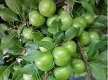 آغاز برداشت نوبرانه گوجه سبز در شهرستان سرپلذهاب