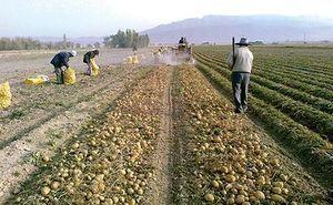 ۴۰ درصد گندم تولیدی خراسان شمالی بیش از نیاز خراسان شمالی