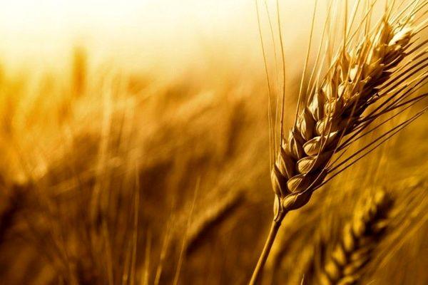 برداشت محصول استراتژیک گندم و جو از زمینهای کشاورزی شهرستان بیرجند