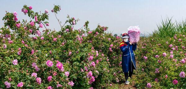 از خامفروشی گلمحمدی در گلپایگان باید جلوگیری شود