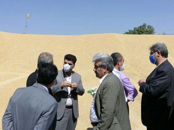بیش از ۸۱ هزار تن گندم از کشاورزان سقزی خریداری شد