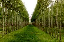مزارع الگویی و نمایشی زراعت چوب در آذربایجان غربی ایجاد شود