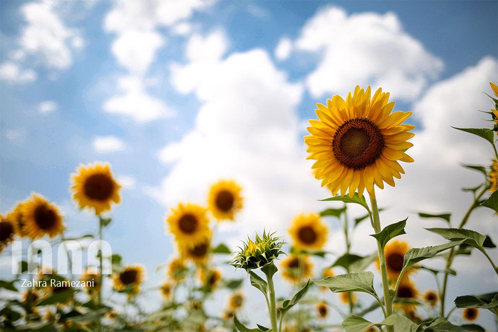 مزارع گل آفتابگردان در گرگان