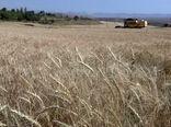 فصل دروی خوشه های طلایی از گندم زارها