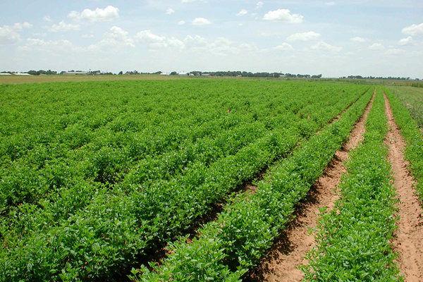 طرح برآورد هزینه تولید محصولات زراعی در قزوین اجرا می شود