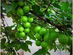 تولید 8 هزار تن گوجه سبز در بابل