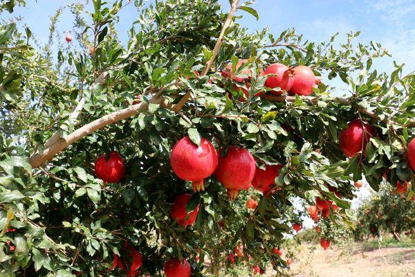 کاهش خسارت آفت مگس مدیترانهای در باغات انار یزد