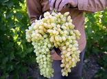 برداشت ۱۸۰ هزار تن انگور در استان آذربایجان شرقی در سالجاری