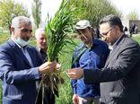 هر ایرانی سالانه چیزی حدود 110 کیلوگرم گندم برای نان مصرف میکند