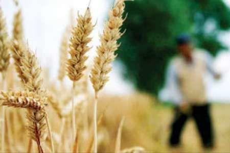 کاهش سن زدگی مزارع گندم کردستان به کمتر از یک تن
