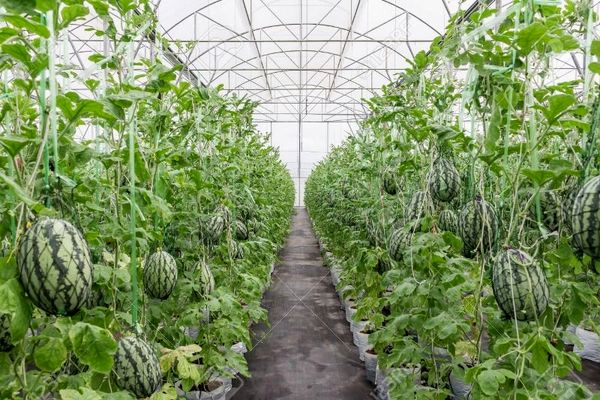کاهش مصرف آب به یک پنجم در کشت گلخانهای هندوانه