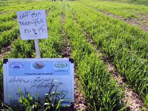 اجرای 2 مزرعه  پی وی اس ارقام مشارکتی گندم و جو در شهرستان بناب